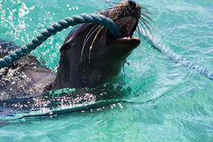 Galapagos Sea lion Playing. A Galapagos Sea lion (latin Zalophus wollebaeki) playing with rope in clear water Stock Photos