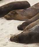 Galapagos Sea Lion Pod of 6 Resting Royalty Free Stock Photo