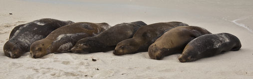 Galapagos Sea Lion Pod of 6 Resting Royalty Free Stock Photography