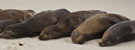 Galapagos Sea Lion Pod of 6 Resting Royalty Free Stock Image
