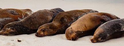 Galapagos Sea Lion Pod of 6 Resting stock image