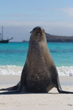 Galapagos sea lion pose Stock Photography
