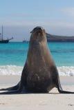 Galapagos sea lion pose. A galapagos sea lion on the beach Stock Photography