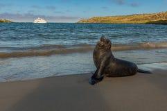 A Galapagos Sea Lion posing on the beach. royalty free stock photo