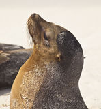Galapagos Sea Lion Profile Royalty Free Stock Photography