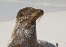 Galapagos Sea Lion Profile Stock Photo