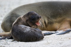 Galapagos sea lion pup beside adult Stock Photography