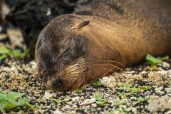 Galapagos sea lion pup sleeping on shingle Royalty Free Stock Photography