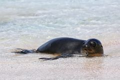 Galapagos sea lion resting at the beach on Espanola Island, Galapagos National park, Ecuador. These sea lions exclusively breed in the Galapagos royalty free stock image