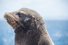 Galapagos Sea Lion with scar on face stock photography