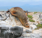 Galapagos Sea lion. Single sea lion resting on a rock on South Plaza Island in the Galapagos Royalty Free Stock Photography