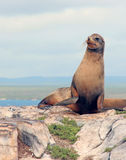 Galapagos Sea lion. Sea lion sitting on a rock on South Plaza Island in the Galapagos Royalty Free Stock Image