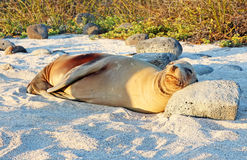 Galapagos Sea Lion Royalty Free Stock Photo
