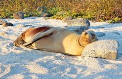 Galapagos Sea Lion. Sleeping  on the beach Royalty Free Stock Photo