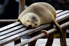 Galapagos Sea Lion. A Galapagos sea lion sleeping on a bench (latin Zalophus wollebaeki Royalty Free Stock Image