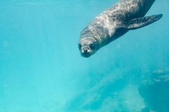 Galapagos Sea Lion swimming underwater stock photography