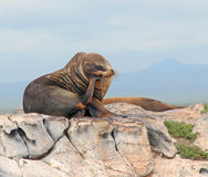 Galapagos Sea lion. In thinking position on South Plaza Island in the Galapagos Royalty Free Stock Photography