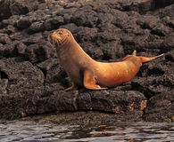 Galapagos Sea Lion. Sea Lion on volcano stones in Galapagos Island,Ecuador Stock Photos