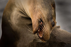 Galapagos sea lion (Zalophus wollebaeki). Galapagos sea lion curving its head (Zalophus wollebaeki, South Plaza Island, Galapagos, Ecuador Royalty Free Stock Photography