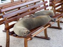Galapagos sea lion, Zalophus wollebaeki, lying on a bench,  Port Puerto Alora,  Santa Cruz, Galapagos, Ecuador. The Galapagos sea lion, Zalophus wollebaeki Royalty Free Stock Image