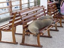 Galapagos sea lion, Zalophus wollebaeki, lying on a bench,  Port Puerto Alora,  Santa Cruz, Galapagos, Ecuador. The Galapagos sea lion, Zalophus wollebaeki Royalty Free Stock Photos