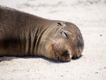Galapagos sea lion (Zalophus wollebaeki). Relaxing on the beach in the Galapagos Islands Stock Images