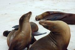Galapagos Sea Lions. This photo was taken on Gardner Bay beach,San Cristobal Island,Galapagos Stock Images