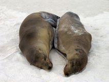 Galapagos Sea Lions. Snuggled up on a White Sand Beach Stock Images