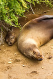 Galapagos Sea Lions. Mother and baby Galapagos sea lions sleeping on the beach royalty free stock photography