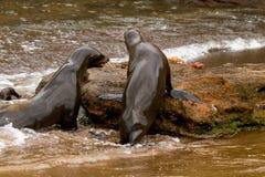 Galapagos Sea Lions Stock Photo