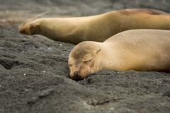 Galapagos sea lions. Sleeping on rocks or sandy volcanic beach Royalty Free Stock Photos