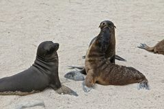Galapagos sea lions Stock Photos
