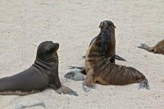Galapagos sea lions stock photos