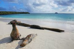 Galapagos sea lions on the beach at Gardner Bay, Espanola Island. Galapagos National park, Ecuador. These sea lions exclusively breed in the Galapagos royalty free stock image