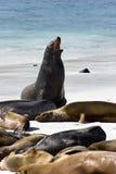 Galapagos Sea lions - Galapagos Islands stock images