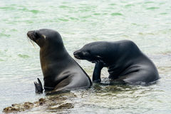 Galapagos sea lions, Isabela island, Ecuador stock photo