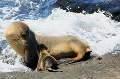 Galapagos sea lions. Mother`s Day in the Galapagos Islands stock photos