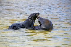 Galapagos sea lions playing in water at Gardner Bay, Espanola Is. Land, Galapagos National park, Ecuador. These sea lions exclusively breed in the Galapagos stock image