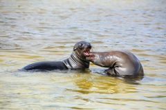 Galapagos sea lions playing in water at Gardner Bay, Espanola Island, Galapagos National park, Ecuador. These sea lions exclusively breed in the Galapagos stock photos