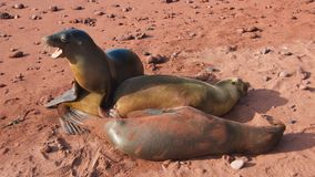 The Galapagos Sea Lions in Rabida's Island Stock Photos
