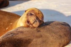 Galapagos sea lions sleeping in the warm sun. Sea lions sleeping in the warm sun on Galapagos beach Royalty Free Stock Photo