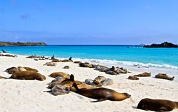 Galapagos sea lions. Sunbathing sea lions in the Galapagos royalty free stock photography
