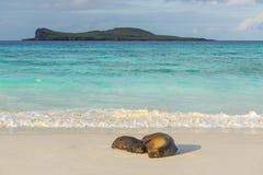 Galapagos Sea Lions at Sunset, Ecuador stock photography