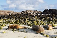 Galapagos Sea Lions Zalophus wollebaeki sleeping on a beach, Genovesa Island, Galapagos Islands. Ecuador Royalty Free Stock Image
