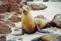 Galapagos seal Stock Photo