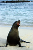 Galapagos seal. Yawning on a beach stock photos
