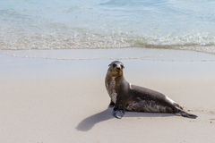 Galapagos Seal Royalty Free Stock Photos