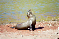 Galapagos Seal portrait. A Sea Lion catching sun on the beach, Galapagaos Islands stock image