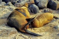 galapagos sealion obraz royalty free