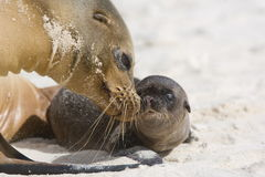 Galapagos sea lion with pup Stock Images